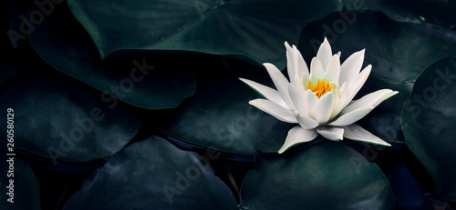 Poster Waterlelies Beautiful white lotus flower closeup. Exotic water lily flower on dark green leaves. Fine art minimal concept nature background.