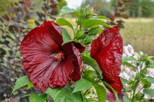 Red Hibiscus Flower And Buds I...