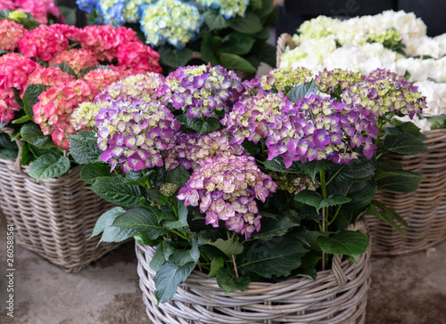 Foto auf Gartenposter Hortensie Variety of hydrangea macrophylla flowers in violet, pink, white colors in the garden shop.