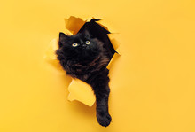 Funny Black Cat Ripped Yellow Paper And Looks Up. Copy Space.