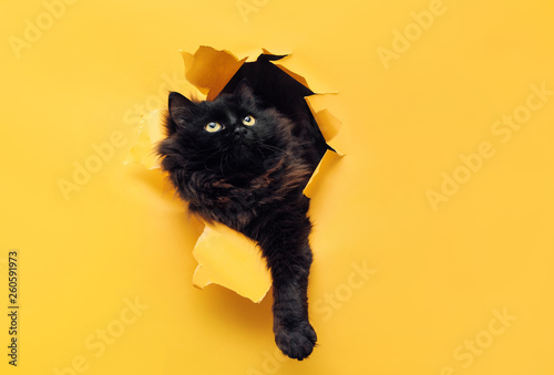 Chat Funny black cat ripped yellow paper and looks up. Copy space.