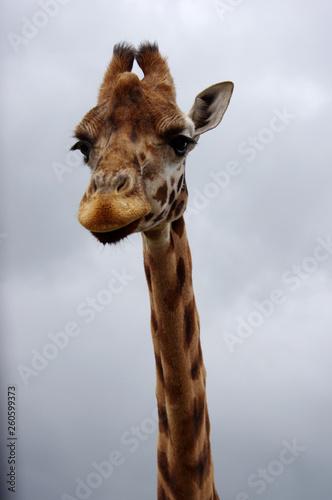 Cadres-photo bureau Girafe Giraffe