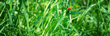 Fresh Green Grass On A Meadow In The Sunlight, Ladybug On The Grass, Macro, Spring Summer Natural Image. Panoramic View.