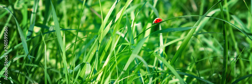 Photo  Fresh green grass on a meadow in the sunlight, ladybug on the grass, macro, spring summer natural image