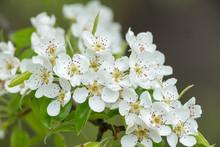 White Pear Blossoms, Sunlight ...