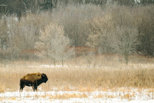 Side View Of A Lone Bison In T...
