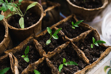 Seedlings In Peat Pots.Baby Pl...