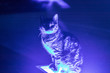 canvas print picture - a closeup portrait shoot to an interesting cat who sit on blue neon light