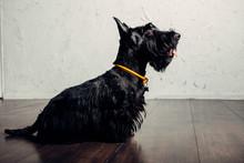 Scottish Terrier Puppy Is Posi...
