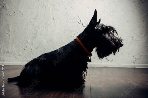 Obraz Scottish terrier puppy is posing in studio on a light background - fototapety do salonu