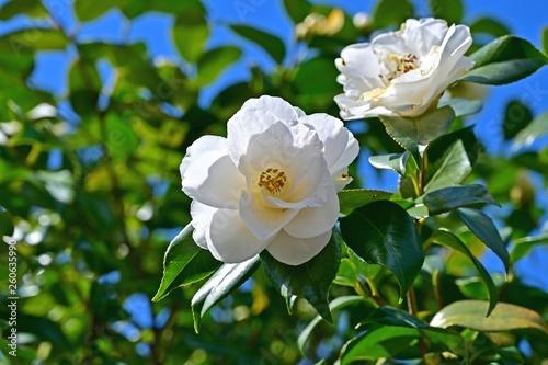Stampa su Tela 木漏れ日浴びて咲く満開の白い椿の花