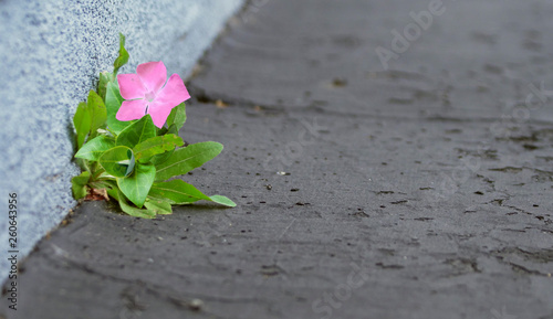 Single Flower Sprouting Up Through the Pavement with Vignette Fototapet