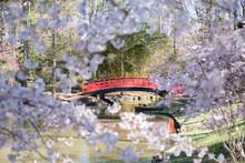 Duke Garden Cherry Blossom