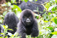 Baby Mountain Gorilla (Gorilla...