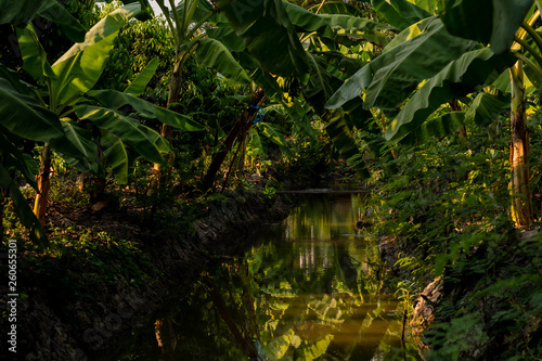 Tuinposter Jungle Fresh Green Unripe banana Cluster plantation cultivation in South East Asia