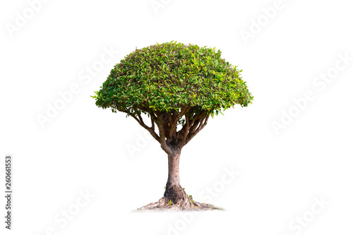 Foto auf Leinwand Bonsai Bonsai banyan tree isolated on white background