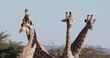 4K cropped view of four male giraffe, Etosha National Park, Namibia