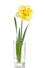 Single Flower Of Yellow Daffodil In Glass Vase Isolated On White Background