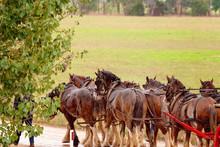 A Team Of Draft Horses In The Rain