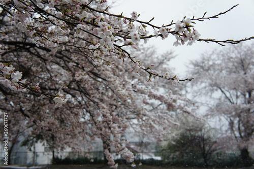 雪と桜 Canvas Print