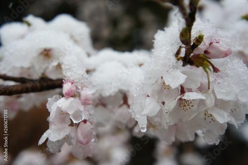 雪と桜 Wallpaper Mural