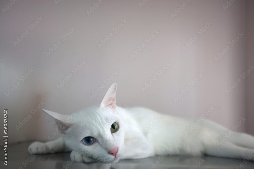 Fototapety, obrazy: A white cat with two different color eyes as blue and yellow