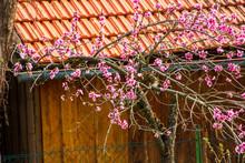 Peach Tree Blooming In Garden