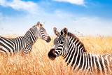Fototapeta Sawanna - Zebras in the African savanna against the blue sky with clouds. Wildlife of Africa.