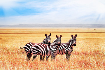 FototapetaGroup of wild zebras in the African savanna against the beautiful blue sky with clouds. Wildlife of Africa. Tanzania. Serengeti national park.