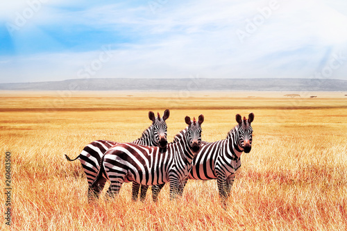 Group of wild zebras in the African savanna against the beautiful blue sky with clouds. Wildlife of Africa. Tanzania. Serengeti national park.