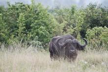 Buffalo In Safari In Africa