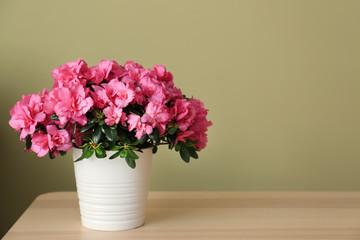 Lonac s prekrasnom cvatućom azalejom na stolu u pozadini boja