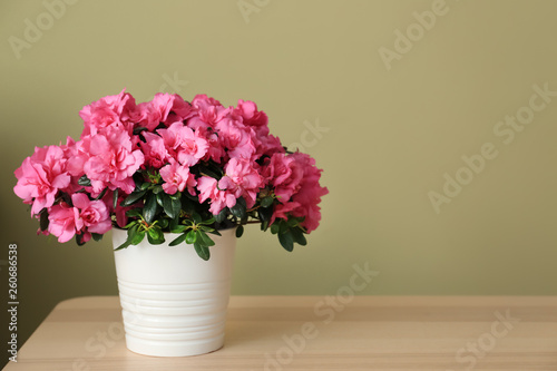 Montage in der Fensternische Azalee Pot with beautiful blooming azalea on table against color background