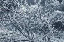 Blue Toned Winter Thorn Bush