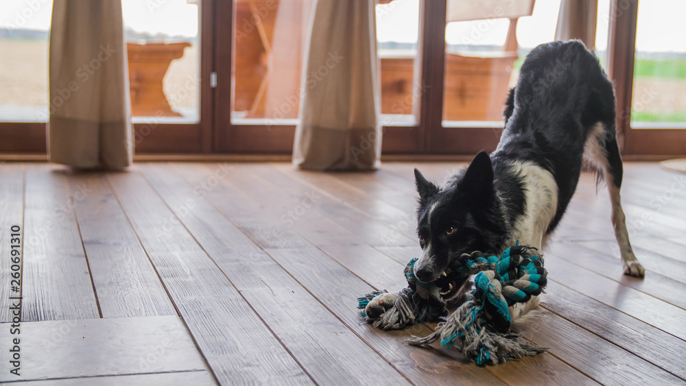 Fototapety, obrazy: Black and white dog playing with rope toy