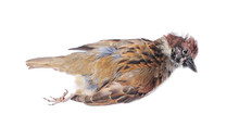 Eurasian Tree Sparrow Bird , Just Dead Isolated On White Background With Clipping Path