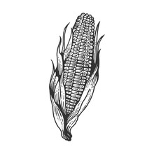 Corn Maize Vegetable Plant On Branch Sketch Engraving Vector Illustration. Scratch Board Style Imitation. Hand Drawn Image.