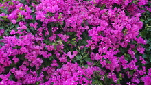 Purple Bougainvillea Flowers T...
