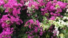 Purple Bougainvillea Flowers T...