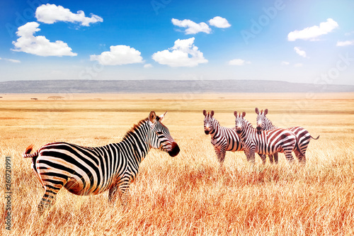Group of wild zebras in the African savanna against the beautiful blue sky with white clouds. Wildlife of Africa. Tanzania. Serengeti national park. African landscape.