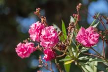 Pink Oleander Flowers Or Oleander Nerium.