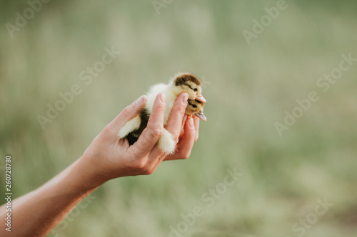 Fotografie, Obraz  two small ducklings on the hands