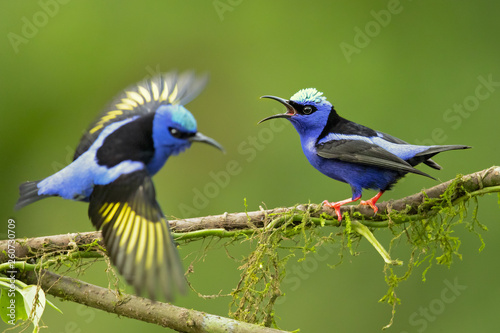 Fotografia Red-legged honeycreeper (Cyanerpes cyaneus) is a small songbird species in the tanager family (Thraupidae)
