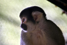 This Is A Close Up Of A Cute Spider Monkey