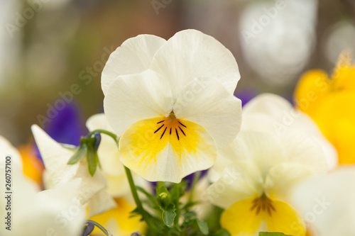 Papiers peints Pansies Beautiful Viola / Violet (Pansy) white and yellow. Close-up. Background blurred with various other flowers.