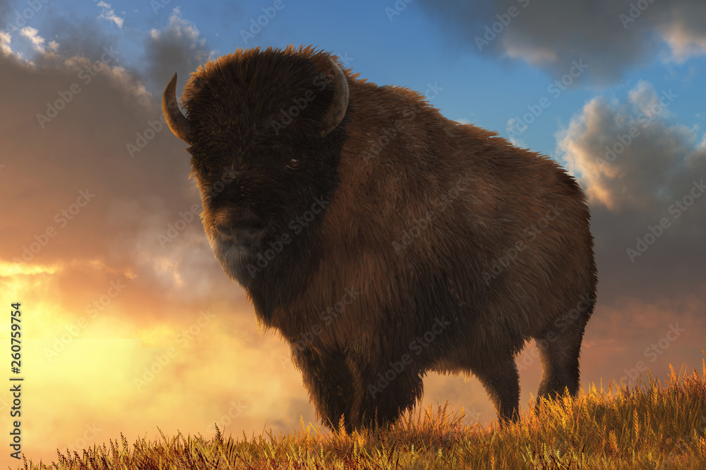 Fototapeta An American buffalo stands on a grassy hill.  Behind the massive fur covered bison, the sun sits low on the horizon. 3D Rendering