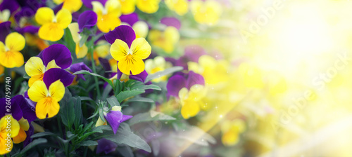 Flowering purple pansies in the garden in sunny day. Natural summer background with soft blurred focus