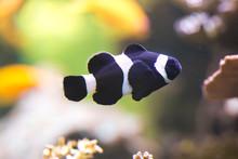 Ocellaris Clownfish, False Pe...
