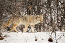 Coyote - Walk