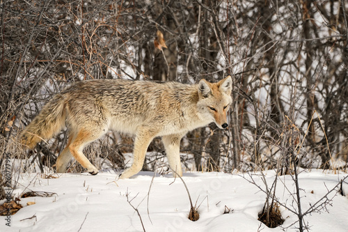 Fotografija Coyote - Walk